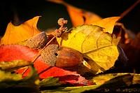 Germinating acorn lying on autumn leaves