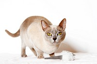 Burmese cat playing with cat toy