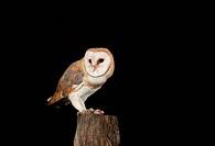 Barn Owl (Tyto alba) feeding on mouse on a fence post, Vulkaneifel district, Rhineland-Palatinate, Germany, Europe
