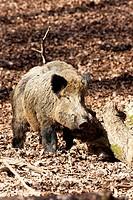 Wild Boar (Sus scrofa), tusker, Wildpark Vulkaneifel wildlife park, Rhineland-Palatinate, Germany, Europe