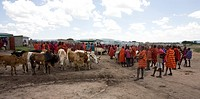 Weekly livestock market in the Maasai Mara game reserve The village is inhabited by Massai who consider their animals as most important in live Each f...
