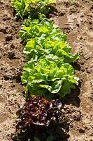 Lettuce growing in field