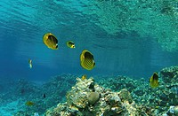 Striped fish butterfly, butterflyfish (Chaetodon fasciatus), Red Sea, Egypt, Africa