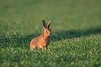 Brown Hare (Lepus europaeus), Norfolk, England, United Kingdom, Europe
