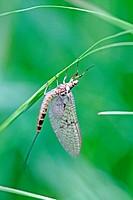 Ephemera vulgata, mayfly