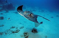 Blotched fantail ray (Taeniura meyeni), swimming over the ocean floor, Maldives, Indian Ocean, Asia