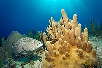 Black Grouper (Mycteroperca bonaci) swimming next to small Pillar Coral (Dendrodyra cylindrus), Republic of Cuba, Caribbean Sea, Caribbean, Central Am...