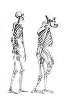 Human skeleton and a skeleton of a monkey, anatomical illustration