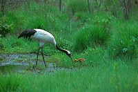Family of red_crowned cranes
