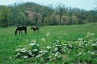 Horse/ Thoroughbred