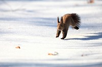 Hokkaido squirrel in early winter