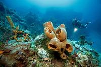 Scuba diver in a Caribbean coral reef, big sponges, Cozumel, Mexico, Caribbean