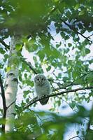 Young Ezo Ural owl