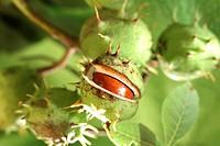 Horse Chestnut (Aesculus hippocastanum), fruit capsules with one split open