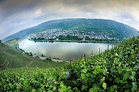 View from the vineyards of the city of Winningen, lands bathed by the river Moselle  Winningen, Mosel, Renania-Palatinado, Germany, Europe