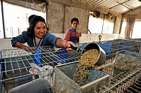 Young woman feeding rabbits in the rabbit-breeding facility for the disabled, Mateo Quinto, Puebla, Mexico, Central America