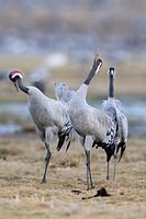 Common or Eurasian Cranes (Grus grus), at roost, birds calling, Lake Hornborga, Hornborgasjoen, Vaestergoetland, Sweden, Scandinavia, Europe
