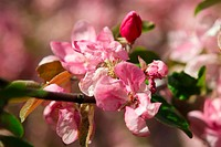 Apple blossoms closeup