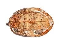 Four_eyed turtle
