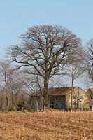 Ein alter großer Baum an einem alten Bauernhof.