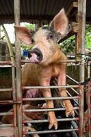 Pigs in little farm - La Digue Island - Seychelles