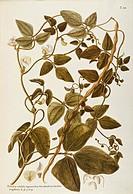 Herbal, 18th-19th century. Iconographia Taurinensis. Volume XXVI, Plate 10 by Giovanni Antonio Bottione (?): Yardlong Bean (Vigna sesquipedalis Fruwir...