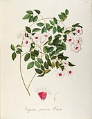Herbal, 18th-19th century. Iconographia Taurinensis. Volume LXII, table 7 by Maddalena Lisa Mussino: Bignoniaceae, Bower vine or Bower of Beauty (Pand...