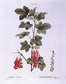 Botany - Grossulariaceae - Red currant (Ribes rubrum). Henri Louis Duhamel du Monceau, botanical plate by Pierre Joseph Redouté.