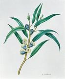 Botany - Trees - Myrtaceae - Leaves and flowers of Tasmanian Blue Gum (Eucalyptus globulus), illustration