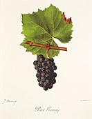 Pierre Viala (1859-1936), Victor Vermorel (1848-1927), Traite General de Viticulture. Ampelographie, 1901-1910. Tome III, plate: Petit Gamay grape. Il...