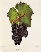 Pierre Viala (1859-1936), Victor Vermorel (1848-1927), Traite General de Viticulture. Ampelographie, 1901-1910. Tome V, plate: Othello grape. Illustra...