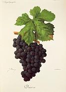 Pierre Viala (1859-1936), Victor Vermorel (1848-1927), Traite General de Viticulture. Ampelographie, 1901-1910. Tome VI, plate: Dureza grape. Illustra...