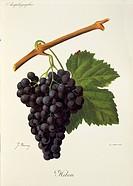 Pierre Viala (1859-1936), Victor Vermorel (1848-1927), Traite General de Viticulture. Ampelographie, 1901-1910. Tome VI, plate: Hibou grape. Illustrat...