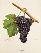 Pierre Viala (1859-1936), Victor Vermorel (1848-1927), Traite General de Viticulture. Ampelographie, 1901-1910. Tome VI, plate: Bregin grape. Illustra...