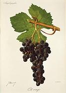 Pierre Viala (1859-1936), Victor Vermorel (1848-1927), Traite General de Viticulture. Ampelographie, 1901-1910. Tome VI, plate: Cot Rouge grape. Illus...