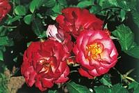 Botany - Rosaceae - Novaia rose.