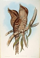 John Gould (1804-1881), The Birds of Australia, 1848 - Tawny Frogmouth (Podargus strigoides). Volume II, plate 6, colored engraving.