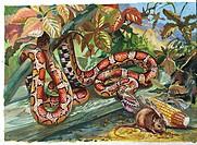 Zoology - Scaled reptiles - Colubridae - Corn Snake (Elaphe guttata guttata), illustration