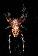 Zoology - Arachnids - Spiders - European garden spider, or Cross spider (Araneus diadematus) - Old specimen