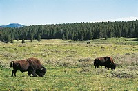 USA, Wyoming, Yellowstone National Park (UNESCO World Heritage List, 1976). American Bisons (bison bison)