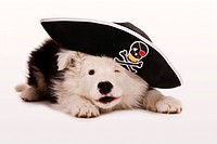 Border Collie puppy as a pirate