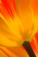 Detail einer Tulpe