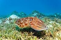 Broadclub Cuttlefish (Sepia latimanus) above sea weed, Makadi Bay, Hurghada, Egypt, Red Sea, Africa