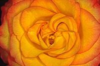 Rosa, Rose Blütendetail 3538