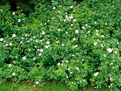 Rosa arvensis, Feldrose, field rose