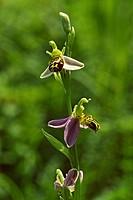 Ophrys apifera, Bienen_Ragwurz