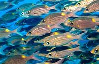 Schwarm Malediven