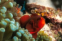 roter Anemonenfisch