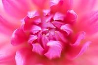 Dahlia ´Ruskin Charlotte´, Dahlia, Pink subject.