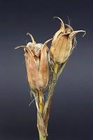 Iris Spuria, Iris, Blue iris, Brown subject, Grey background.